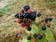 How to Kill Wild Blackberry