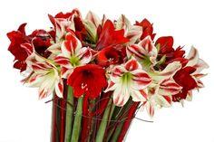 Jardines » Blog Archive » Bulbos de amarilis