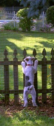 Fox Terrier. Fox Fox Fox  056.250