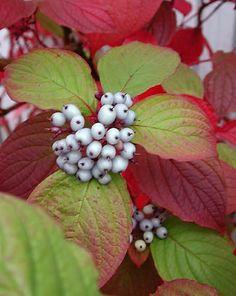 Cornus alba sibirica - Red Twig Dogwood.
