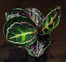 Prayer Plant~Calathea Rosieopicta gorgeous plant Excellent  Houseplant