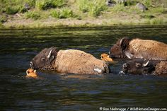 Bison herd crossing the river
