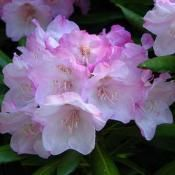 Coast Rhododendron - state flower of Washington