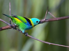 Tangara seledon. Green-headed tanager.