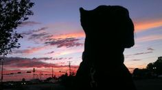 Cane Corso breeder and trainer located in Gilbert, AZ Cane Corso Breeders, Cane Corso Italian Mastiff, Kinds Of Dogs, Trainers, Puppies, Animals, Tennis, Cubs, Animales