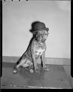 This dog wearing a bowler hat, 1939 | 30 Cute Dog Photos From The '30s