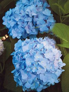 Endless Summer Hydrangea  You can't go wrong with 'Endless Summer'. This gorgeous hydrangea blooms all season -- even in the north. It's great for cutting, with 8-inch-wide flower clusters. The blooms range from pink in alkaline soils to blue in acidic soils. The selection is wonderfully disease resistant, too.  Name: Hydrangea 'Endless Summer'  Growing Conditions: Afternoon shade and moist, well-drained soil  Size: To 5 feet tall and wide  Zones: 4-9  It's Also Perfect With: White impatiens…