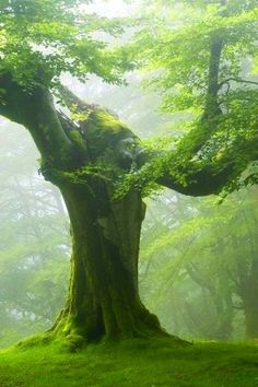 Misty Beech Forest. D.K. 04/19/2014