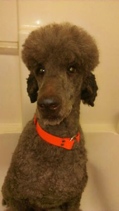 Brock is a beautiful silver chocolate standard poodle boy that came to us resembling big foot. (see picture two) He was found as a stray and we were called by a rural shelter to take him into our program. We cleaned him up and found a beautiful...