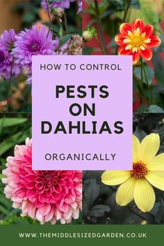 How to grow beautiful dahlias with easy, effective organic pest control. Keep snails, slugs and earwigs off your dahlias for a sustainable organic garden #middlesizedgarden Grasses For Pots, Organic Gardening, Gardening Tips, Low Maintenance Garden Design, Earwigs, Growing Dahlias, Garden Privacy, Going Natural, Garden Trees