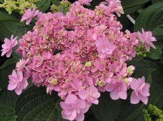 hydrangea macrophylla you and me forever - Google zoeken