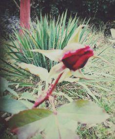 Rózsa - decemberben