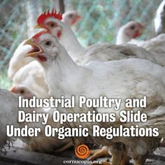 Increasingly, massive industrial poultry and dairy facilities are obtaining organic certification. And there's the rub. It strains all sense of credibility that these industrial confinement operations claim they meet the outdoor and pasture requirements embedded in the nation's organic laws. More here: http://www.cornucopia.org/2015/01/industrial-poultry-dairy-operations-slide-organic-regulations/ #CAFOs #animalwelfare #organic #food #meatproduction