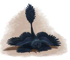 Microraptor haciendo un hipotético despliegue de ostentación de sus hipotéticamente negras plumas, tal como lo hacen los pájaros modernos. Por Emily Willoughby