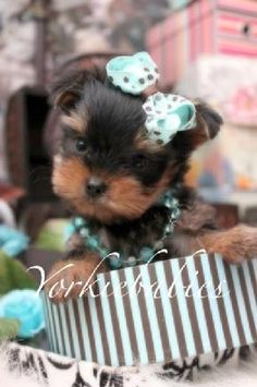 65 Best Tea Cup Yorkie Puppies Images On Pinterest Cute Puppies