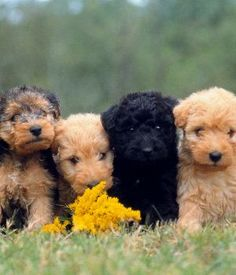 so cute - lakeland terrier puppies Pitbull Terrier, Terrier Dog Breeds, Terrier Mix, Irish Terrier, Airedale Terrier, Lakeland Terrier Puppies, Cute Puppies, Dogs And Puppies, Doggies
