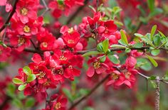 Japonica, Japanese quince