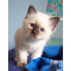 Siberian kitten ❤ liked on Polyvore featuring cats, pets, animals, - pictures and photos