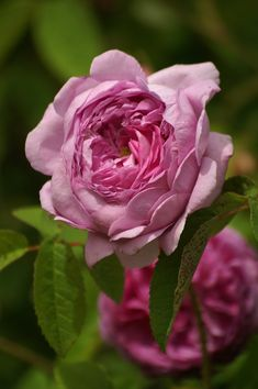 Rose 'Anaïs Ségalas' (France, 1837). Pink flower.
