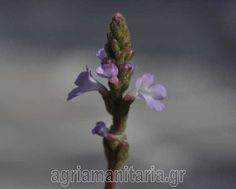 Βερβένα η φαρμακευτική - Verbena officinalis άγρια μανιτάρια | agriamanitaria.gr