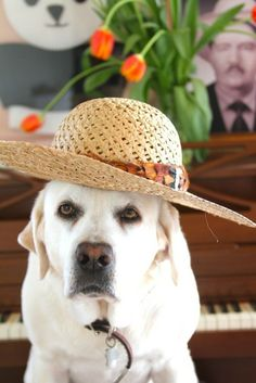 A dog wearing a summer garden hat while sitting at the piano. Cute Dog Pictures, Happy Pictures, Pet Fashion, Animal Fashion, Golden Retrievers, Funny Dogs, Funny Animals, Pet Style, Mans Best Friend