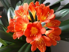 Clivia Belgian Orange - Vibrant orange flowering variety with strappy evergreen foliage, suited to shaded areas as a border. Great in pots too! Garden Soil, Garden Plants, Indoor Plants, Evergreen Flowers, New Roots, Liquid Fertilizer, Bee Art, Seed Pods, Shade Plants