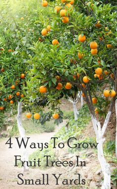 With yards being smaller, and food being more expensive it seems like there has got to be a good way to still grow fruit.There are a few ways that you can do it, and have it work out great for you...