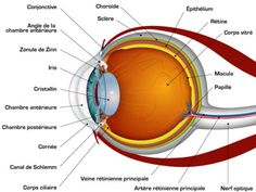 human eye parts diagram 2002 pontiac stereo wiring of the great installation pin by sallie forrester on home school general rh pinterest com