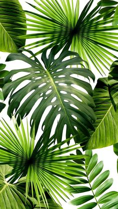 Tropical wallpaper, Pantone 2017 colour, Palm wallpaper, Tropical leaves, Color of the year Pantone greenery - Wild Thing Wallpaper by Flavor Paper - Motif Tropical, Tropical Art, Tropical Leaves, Tropical Plants, Tropical Forest, Tropical Interior, Palm Wallpaper, Tropical Wallpaper, Wallpaper Backgrounds