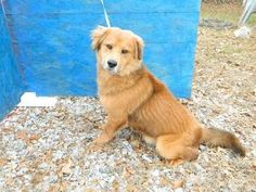 Apache is an adoptable Golden Retriever Dog in Media, PA. JUST RESCUED. TAKING APPLICATIONS NOW. APACHE is a very handsome 2 year old male Golden Retriever!