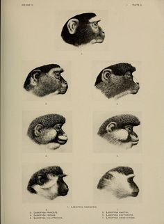 Guenon portraits, A review of the Primates, American Museum of Natural History, 1912