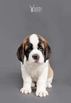 Eleven St. Bernard Puppies – NH Pet Photography - Mon Petit Studio