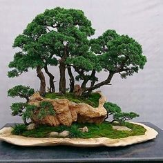 Penjing - Very good forest bonsai on rock with a second level of bonsai on a slab too!