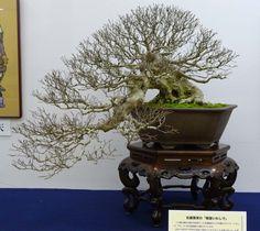 Bonsai Pottery: Post 209 Taikan-ten in Kyoto Japan