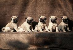 Pug Cuteness overdose pugterest