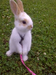Google Image Result for http://www.cutebunnypictures.com/pictures/Bunny_On_A_Leash.jpg