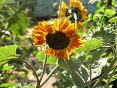 Sunflowers growing in Father Larry's Farm