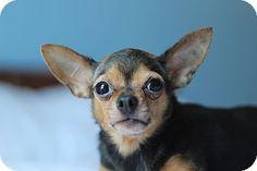 5 / 18 - Romeoville, IL - Chihuahua. Meet Libby (Liberty), a dog for adoption. http://www.adoptapet.com/pet/12889379-romeoville-illinois-chihuahua