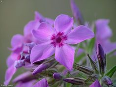 Prairie Phlox on Fontenelle Forest Nature Search
