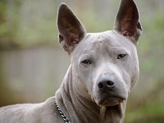 Conheça a raça Cão Tailandês de Crista Dorsal