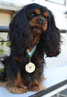 Cavalier King charles spaniel blenheim, black and tan, ruby e tricolor! Cavalier King Charles Spaniel, King Charles Puppy, Spaniel Breeds, Spaniel Puppies, Dog Breeds, Cocker Spaniel, Dog Competitions, Puppy Mix, I Love Dogs