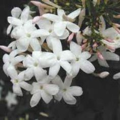 Nothing like the lovely scented jasmine