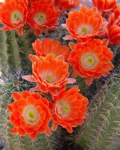 Flores de cactus... color y filigrana.