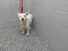 #A476258 Release date 12/5 I am a male, white Terrier. Shelter staff think I am about 2 years old. I have been at the shelter since Nov 28, 2014.  City of San Bernardino Animal Control-Shelter. https://www.facebook.com/photo.php?fbid=10204031284239991&set=a.10203202186593068&type=3&theater