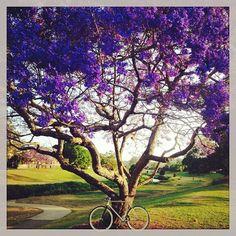 Purple Rain – Jacarandas in full bloom in Brisbane