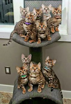 WHAT is cuter than these Bengal babies?Now WHAT is cuter than these Bengal babies? Cute Cats And Kittens, Cool Cats, Kittens Cutest, Tabby Kittens, Bengal Cats, Pretty Cats, Beautiful Cats, Animals Beautiful, Cute Baby Animals