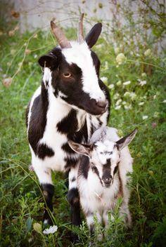 pigmy goat babies | Baby Pygmy Goats