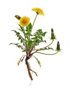 Taràssaco (Taraxacum officinale) pianta perenne , famiglia Asteraceae, sottofamiglia Cichorioideae