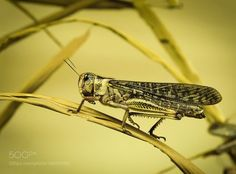 The grasshopper by Photox0906
