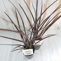 ニューサイランレッド観葉植物カラーリーフ9cmポット